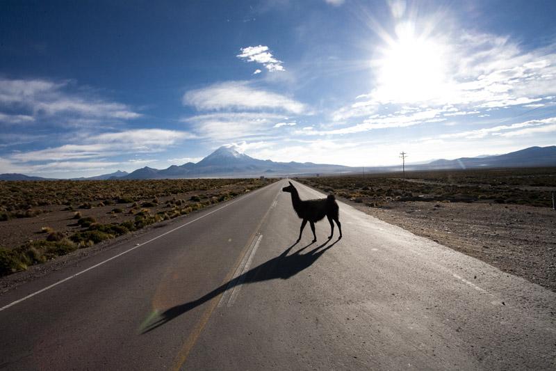 llama, Altiplano, Bolivia